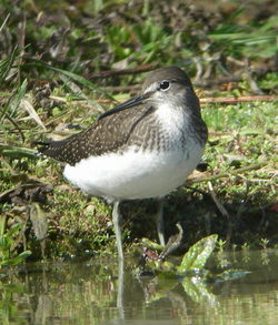 Green Sandpiper photographed at Rue des Bergers [BER] on 11/8/2010. Photo: © Mark Guppy