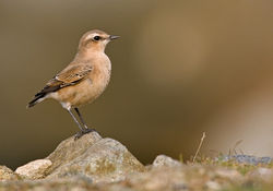 Wheatear photographed at Fort Doyle [DOY] on 18/8/2010. Photo: © Chris Bale