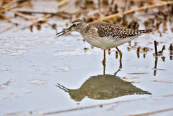Wood Sandpiper photographed at Claire Mare [CLA] on 20/8/2010. Photo: © Chris Bale