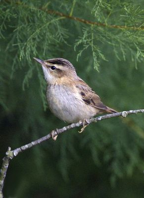 Sedge Warbler photographed at Claire Mare [CLA] on 18/8/2010. Photo: © Mike Cunningham