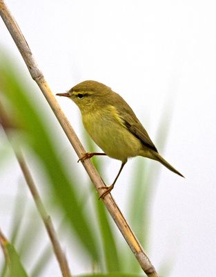 Willow Warbler photographed at Claire Mare [CLA] on 20/8/2010. Photo: © Mike Cunningham