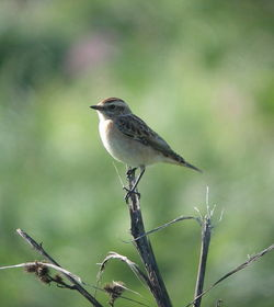 Whinchat photographed at Pleinmont [PLE] on 30/8/2010. Photo: © Mark Guppy