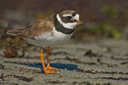 Ringed Plover photographed at L\'Eree [LER] on 28/8/2010. Photo: © Chris Bale