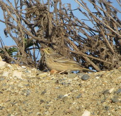 Ortolan Bunting photographed at Pleinmont [PLE] on 31/8/2010. Photo: © Mark Guppy