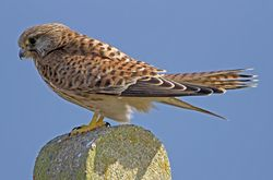 Kestrel photographed at Pleinmont [PLE] on 2/9/2010. Photo: © Mike Cunningham