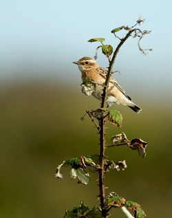 Whinchat photographed at Pleinmont [PLE] on 2/9/2010. Photo: © Chris Bale
