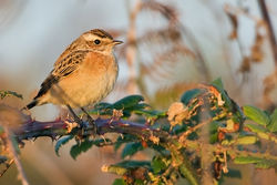 Whinchat photographed at Pulias [PUL] on 8/9/2010. Photo: © Chris Bale