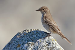 Spotted Flycatcher photographed at Shingle Bank [SHI] on 8/9/2010. Photo: © Chris Bale