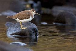 Common Sandpiper photographed at Pulias [PUL] on 11/9/2010. Photo: © Chris Bale