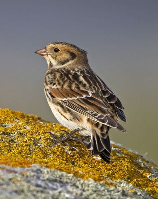 Lapland Bunting photographed at Pulias [PUL] on 13/9/2010. Photo: © Mike Cunningham