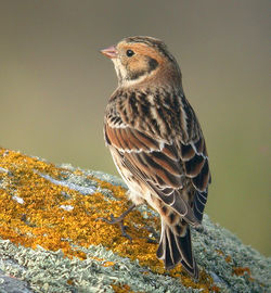 Lapland Bunting photographed at Pulias [PUL] on 13/9/2010. Photo: © Mark Lawlor