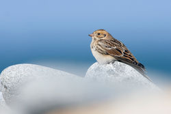 Lapland Bunting photographed at Fort Doyle [DOY] on 15/9/2010. Photo: © Chris Bale