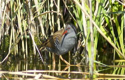 Water Rail photographed at Vale Pond/Grand Pre on 24/9/2010. Photo: © Royston Carr�