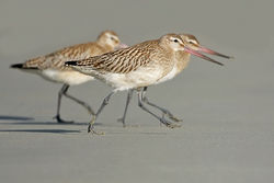 Bar-tailed Godwit photographed at L\'Eree [LER] on 25/9/2010. Photo: © Chris Bale