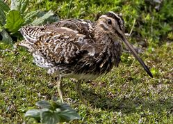 Snipe photographed at Rue des Bergers [BER] on 26/9/2010. Photo: © Mike Cunningham