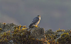 Peregrine photographed at L\'Eree [LER] on 29/9/2010. Photo: © Royston Carr�
