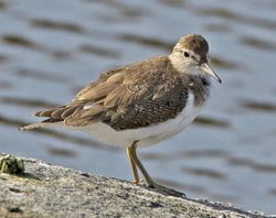 Common Sandpiper photographed at Pulias [PUL] on 22/9/2010. Photo: © Mike Cunningham