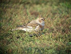 Snow Bunting photographed at MONT HERAULT on 9/10/2010. Photo: © Mark Guppy