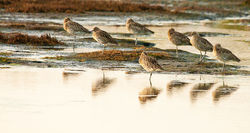 Curlew photographed at Colin Best NR [CNR] on 9/10/2010. Photo: © Rod Ferbrache