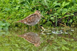 Snipe photographed at Rue des Bergers [BER] on 9/10/2010. Photo: © Rod Ferbrache