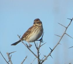 Reed Bunting photographed at Pleinmont [PLE] on 17/10/2010. Photo: © Mark Guppy