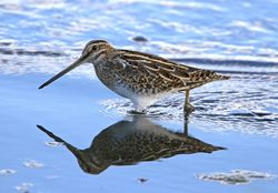 Snipe photographed at Claire Mare [CLA] on 17/10/2010. Photo: © Mike Cunningham