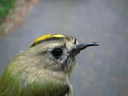 Goldcrest photographed at Select location on 28/10/2010. Photo: © Jamie Hooper