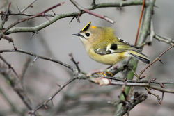 Goldcrest photographed at Rohais [ROH] on 7/11/2010. Photo: © Chris Bale