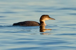 Great Northern Diver photographed at Belle Greve Bay [BEL] on 15/11/2010. Photo: © Paul Hillion