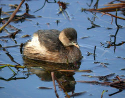 Little Grebe photographed at Reservoir [RES] on 17/11/2010. Photo: © Mark Lawlor