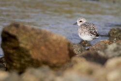 Grey Plover. Photo: © Chris Bale