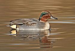 Teal photographed at Rue des Bergers [BER] on 26/11/2010. Photo: © Chris Bale