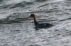 Red-breasted Merganser photographed at Belle Greve Bay [BEL] on 29/11/2010. Photo: © Phil Alexander