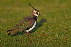 Lapwing photographed at Old Aerodrome [OLD] on 3/12/2010. Photo: © Chris Bale