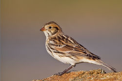 Lapland Bunting photographed at Vazon [VAZ] on 9/12/2010. Photo: © Chris Bale