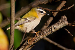 Firecrest photographed at Claire Mare [CLA] on 9/12/2010. Photo: © Chris Bale