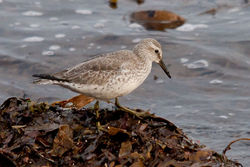 Knot photographed at Shingle Bank [SHI] on 11/12/2010. Photo: © Rod Ferbrache