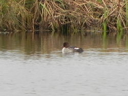 Goldeneye photographed at La  Grande Mare lake on 11/12/2010. Photo: © Tony Bisson