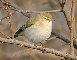 Chiffchaff photographed at Rue des Bergers [BER] on 12/12/2010. Photo: © Wayne Atkinson