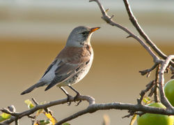 Fieldfare photographed at Bas Capelles on 13/12/2010. Photo: © Rod Ferbrache