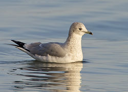 Common Gull photographed at Vazon on 26/12/2010. Photo: © Barry Wells