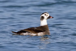 Long-tailed Duck photographed at Pembroke [PEM] on 26/12/2010. Photo: © Paul Hillion