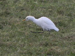 Cattle Egret photographed at La Rue de la Quevillette on 28/12/2010. Photo: © Tony Bisson