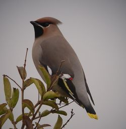 Waxwing photographed at Highland Estate on 29/12/2010. Photo: © Mark Guppy