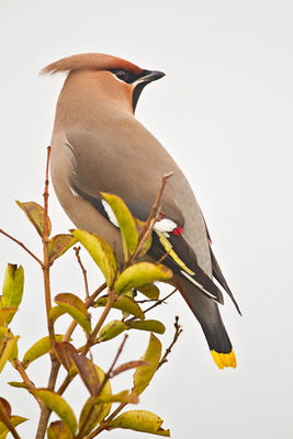 Waxwing photographed at Highland Estate on 29/12/2010. Photo: © Chris Bale