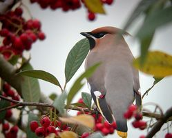 Waxwing photographed at Highlands Estate on 29/12/2010. Photo: © Mark Lawlor