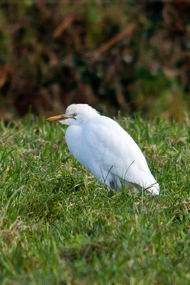 Cattle Egret photographed at Rue De Queteville on 30/12/2010. Photo: © Rod Ferbrache