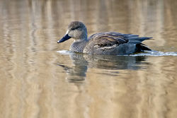 Gadwall photographed at Rue des Bergers [BER] on 30/12/2010. Photo: © Paul Hillion