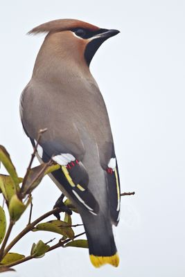 Waxwing photographed at Highland Estate, Castel on 29/12/2010. Photo: © Chris Bale