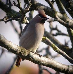 Waxwing photographed at Rue Cohu on 31/12/2010. Photo: © Mark Guppy